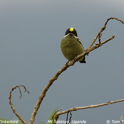 African Barbets Lybiidae