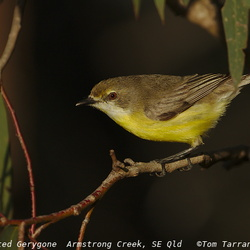 Australasian Warblers Acanthizidae