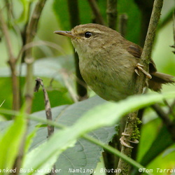 Brown-flanked Bush Warbler Cettia fortipes