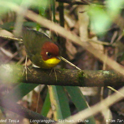 Chestnut-headed Tesia Tesia castaneocoronata