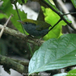 Grey-bellied Tesia Tesia cyaniventer