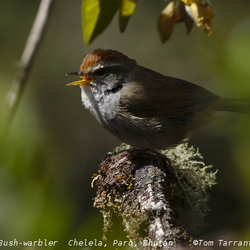 Grey-sided Bush Warbler Cettia brunnifrons