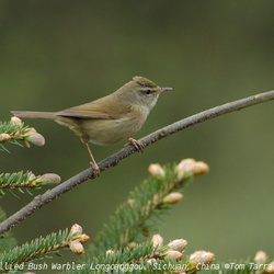 Yellow-bellied Bush Warbler Cettia acanthizoides