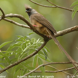 Speckled Mousebird Colius striatus