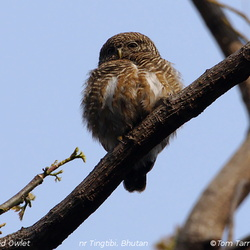 Asian Barred Owlet Glaucidium cuculoides