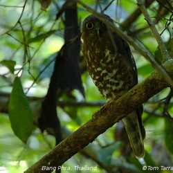 Brown Hawk-Owl Ninox scutulata