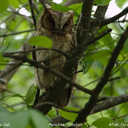 Collared Scops Owl Otus lettia