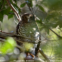 Powerful Owl Ninox strenua