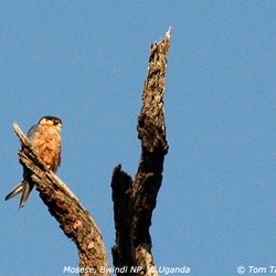 African Hobby Falco cuvierii