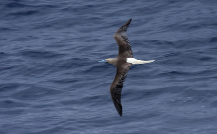 redfootbooby 1269