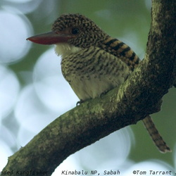 Banded Kingfisher Lacedo pulchella