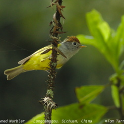 Chestnut-crowned Warbler Seicercus castaniceps