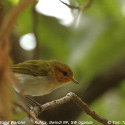Red-faced Woodland Warbler Phylloscopus laetus
