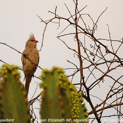 Blue-naped Mousebird Urocolius macrourus