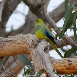 Blue-winged Parrot Neophema chrysostoma