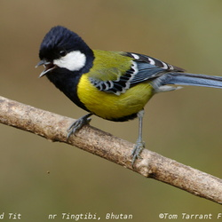 Green-backed Tit Parus monticolus