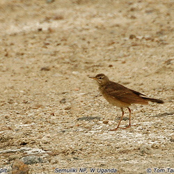 Plain-backed Pipit Anthus leucophrys