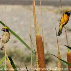 Asian Golden Weaver Ploceus hypoxanthus
