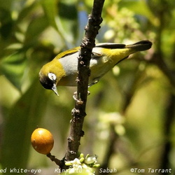 Black-capped White-eye Zosterops atricapilla