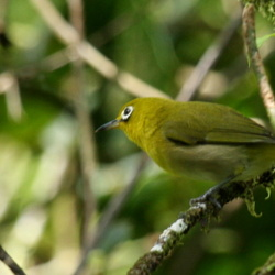 Fiji White-eye Zosterops explorator