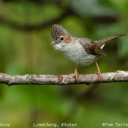 Striated Yuhina Yuhina castaniceps